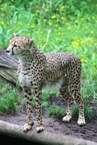 cheetah the hunt