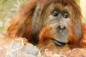 The Red Ape